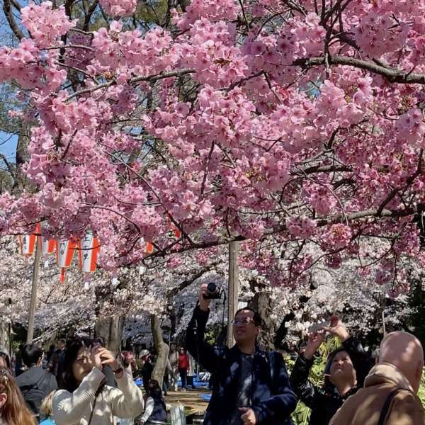 上野公园红樱下